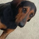 Chien Black and tan Coonhound Hendaye