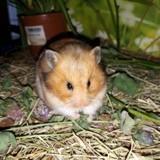 Rongeur Hamster Hera