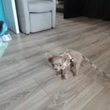 Chien Chihuahua Hercule