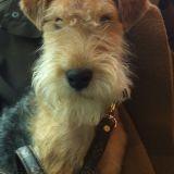 Chien Lakeland Terrier Harrods