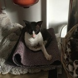 Chat Cornish Rex Hermione