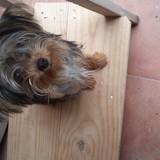 Chien Yorkshire Terrier Hipo