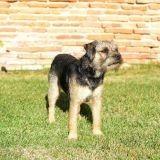 Chien Border Terrier Histoire