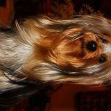 Chien Silky Terrier Hoiselle