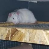 Rongeur Rat Horace