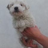 Chien West Highland White Terrier Hortense