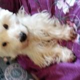 Chien West Highland White Terrier Hypso