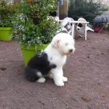 Chien Bobtail I Love You Baby