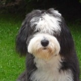 Chien Bearded Collie Iago