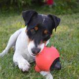 Chien Jack Russell Terrier Iago