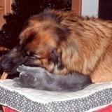 Chien Leonberger Iarno