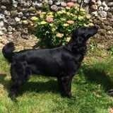 Chien Flat-Coated Retriever Indie