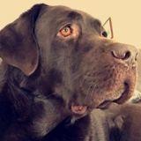 Chien Labrador Retriever Ioda