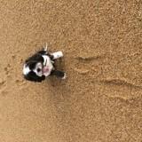 Chien Terrier tibétain Ioko