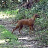 Chien Rhodesian Ridgeback Ioruba Des Terres Lointaines