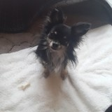 Chien Chihuahua Ipso