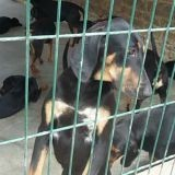 Chien Black and tan Coonhound Iroise