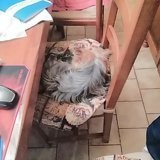 Chien Yorkshire Terrier Isaac