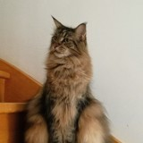 Chat Maine Coon Isil