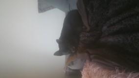 Chien Chihuahua Izzie