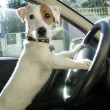 Chien Jack Russell Terrier Junior