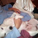 Chien Jack Russell Terrier Snoop