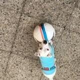 Chien Jack Russell Terrier Mya