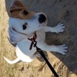 Chien Jack Russell Terrier Orson