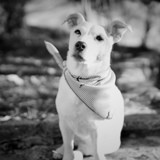Chien Jack Russell Terrier Bubble