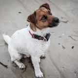 Chien Jack Russell Terrier Nesquick