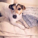 Chien Jack Russell Terrier Guesh