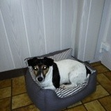 Chien Jack Russell Terrier Gipsy