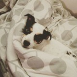 Chien Jack Russell Terrier Bowie