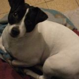 Chien Jack Russell Terrier Lylou