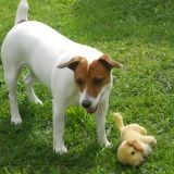 Chien Jack Russell Terrier Daisy