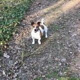 Chien Jack Russell Terrier Jackson