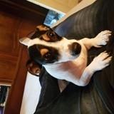 Chien Jack Russell Terrier Jade