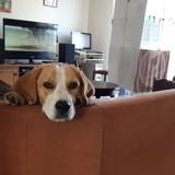 Chien Beagle Jaika