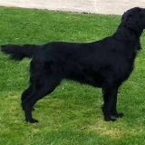 Chien Flat-Coated Retriever Jazz