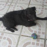 Chien Lakeland Terrier Jed