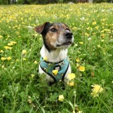 Chien Jack Russell Terrier Jerry