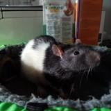 Rongeur Rat John
