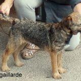 Chien Border Terrier Joly Jumper De Kibéfa