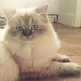 Chat Birman Joy