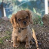 Chien Cavalier King Charles Spaniel Joy