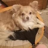 Chien Chihuahua Joy