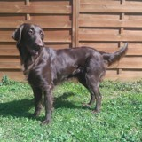 Chien Flat-Coated Retriever Jude