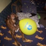 Chien Boxer Jules Rip