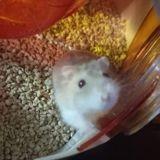 Rongeur Hamster Kaixs