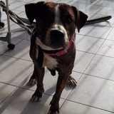 Chien American Staffordshire Terrier Kalia